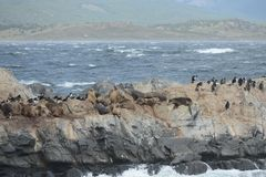 South American sea lion, Otaria flavescens, breeding colony and haulout on small islets just outside Ushuaia. Royalty Free Stock Images