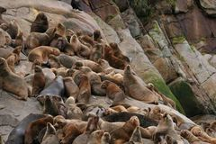 South American sea lion Otaria flavescens colony in Southern Chile. The South American sea lion Otaria flavescens, formerly Otaria byronia, also called the Stock Photography
