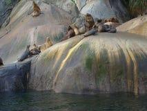 South American sea lion Otaria flavescens colony in Southern Chile. The South American sea lion Otaria flavescens, formerly Otaria byronia, also called the Stock Photos