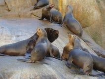 South American sea lion Otaria flavescens colony in Southern Chile. The South American sea lion Otaria flavescens, formerly Otaria byronia, also called the Stock Image