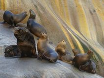 South American sea lion Otaria flavescens colony in Southern Chile. The South American sea lion Otaria flavescens, formerly Otaria byronia, also called the Royalty Free Stock Images