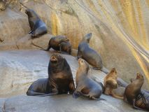 South American sea lion Otaria flavescens colony in Southern Chile. The South American sea lion Otaria flavescens, formerly Otaria byronia, also called the Royalty Free Stock Photography