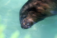 South American sea lion Stock Photos
