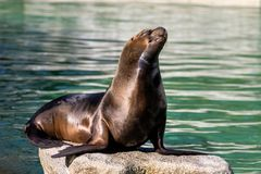 The South American sea lion, Otaria flavescens in the zoo. The South American sea lion, Otaria flavescens, formerly Otaria byronia, also called the Southern Sea royalty free stock photography