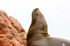 South American Sea lion relaxing on rocks of Ballestas Islands in Paracas National park,Peru. Stock Photos