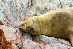 South American Sea lion relaxing on rocks of Ballestas Islands in Paracas National park,Peru. Royalty Free Stock Photos