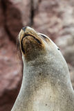 South American Sea lion relaxing on the rocks of the Ballestas Islands in the Paracas National park. Peru. Stock Photo