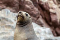South American Sea lion relaxing on the rocks of the Ballestas Islands in the Paracas National park. Peru. Stock Images