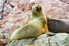 South American Sea lion relaxing on rocks of Ballestas Islands in Paracas National park,Peru. Royalty Free Stock Images