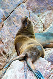 South American Sea lion relaxing on rocks of Ballestas Islands in Paracas National park,Peru. Stock Images