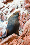 South American Sea lion relaxing on rocks of Ballestas Islands in Paracas National park,Peru. Stock Photo