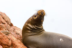 South American Sea lion relaxing on rocks of Ballestas Islands in Paracas National park,Peru. Royalty Free Stock Image