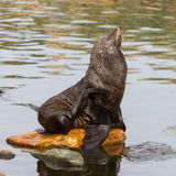 South American sea lion Stock Images