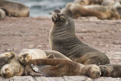 South American Sea Lions. A group of females south american sea lions with a male, on the rocks in the Beagle Channel, Tierra del Fuego Royalty Free Stock Image