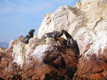 South American Sea-Lions, the Ballestas Islands, Peru Stock Images