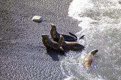 South American sea lions Otaria flavescens on the beach at Punta Loma, Argentina Royalty Free Stock Photo