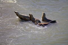 South American sea lions Otaria flavescens on the beach at Punta Loma, Argentina Stock Photography