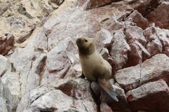 South American Sea Lions Otaria Flavescens sunbath on the rocks. royalty free stock photography