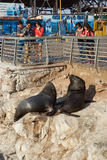 South American Sea Lions Royalty Free Stock Photos