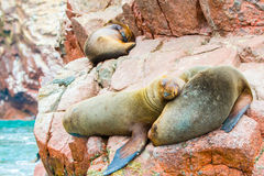 South American Sea lions relaxing on rocks of Ballestas Islands  Stock Images