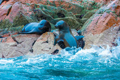 South American Sea lions relaxing on rocks of Ballestas Islands in Paracas Royalty Free Stock Image