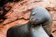 South American Sea lions relaxing on rocks of Ballestas Islands in Paracas National park Royalty Free Stock Image