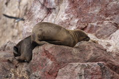 South American Sea lions relaxing on the rocks of the Ballestas Islands in the Paracas National park. Peru. Stock Image