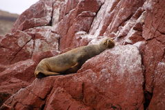 South American Sea lions relaxing on the rocks of the Ballestas Islands in the Paracas National park. Peru. Stock Photography