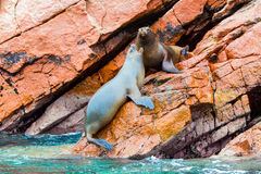 South American Sea lions relaxing on rocks of Ballestas Islands in Paracas National park,Peru Stock Photography