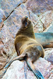 South American Sea lions relaxing on rocks of Ballestas Islands in Paracas National park,Peru Stock Images