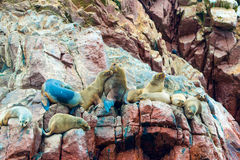 South American Sea lions relaxing on rocks of Ballestas Islands in Paracas National park,Peru Royalty Free Stock Images