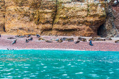 South American Sea lions relaxing on rocks of Ballestas Islands in Paracas National park,Peru. Royalty Free Stock Image