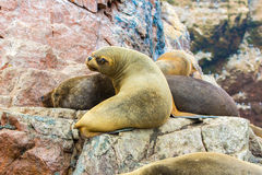 South American Sea lions relaxing on rocks of Ballestas Islands in Paracas National park,Peru. Royalty Free Stock Photo