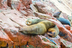 South American Sea lions relaxing on rocks of Ballestas Islands in Paracas National park,Peru Royalty Free Stock Image