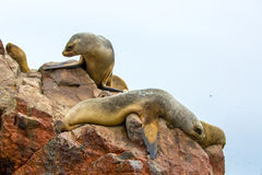 South American Sea lions relaxing on rocks of Ballestas Islands in Paracas National park,Peru. Stock Image