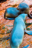 South American Sea lions relaxing on rocks of Ballestas Islands in Paracas National park,Peru Royalty Free Stock Photo