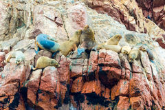 South American Sea lions relaxing on rocks of Ballestas Islands in Paracas National park,Peru. Royalty Free Stock Photography