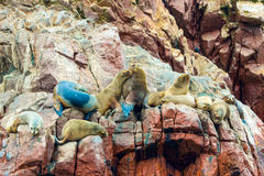 South American Sea lions relaxing on rocks of Ballestas Islands in Paracas National park,Peru. Royalty Free Stock Images