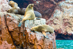 South American Sea lions relaxing on rocks of Ballestas Islands in Paracas National park,Peru Royalty Free Stock Photos