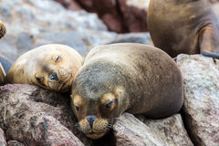 South American Sea lions relaxing on the rocks of the Ballestas Islands in the Paracas National park. Peru. Stock Images