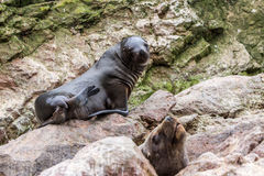 South American Sea lions relaxing on the rocks of the Ballestas Islands in the Paracas National park. Peru. Royalty Free Stock Images