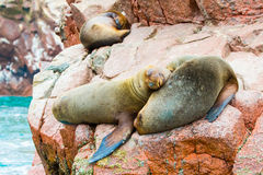 South American Sea lions relaxing on rocks of Ballestas Islands in Paracas National park,Peru. Stock Photos