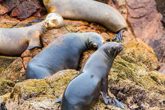 South American Sea lions relaxing on rocks of Ballestas Islands in Paracas National park,Peru. Stock Images
