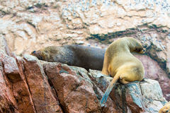 South American Sea lions relaxing on rocks of Ballestas Islands in Paracas National park Royalty Free Stock Photography
