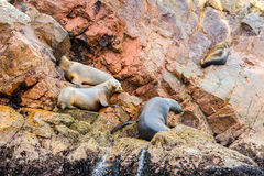 South American Sea lions relaxing on rocks of Ballestas Islands in Paracas National park,Peru Stock Image