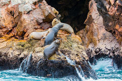 South American Sea lions relaxing on rocks of Ballestas Islands in Paracas National park,Peru. Flora and fauna Royalty Free Stock Photos