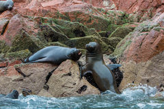 South American Sea lions relaxing on rocks of Ballestas Islands in Paracas National park,Peru. Stock Photo