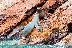 South American Sea lions relaxing on rocks of Ballestas Islands in Paracas National park,Peru. Flora and fauna Royalty Free Stock Images