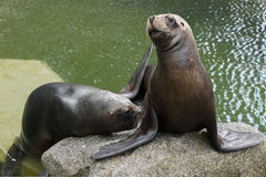 South American Sea lions. Resting on the rock Royalty Free Stock Image