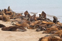 South American sea lions rookery on the beach of the Atlantic Oc Royalty Free Stock Photo